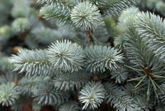 Blue Spruce Stock Image