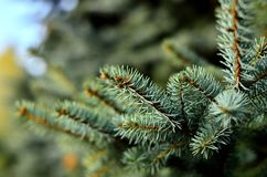 Blue spruce macro, spurce background Royalty Free Stock Photography