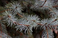 Blue spruce national tree Colorado branches close-up royalty free stock images