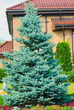Blue spruce near  cottage Royalty Free Stock Images