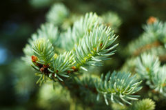 Blue spruce needles. Royalty Free Stock Photo