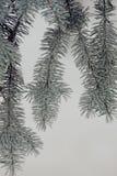 Blue spruce needles. Stock Photos