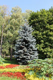 Blue spruce in the park the background of other trees. On a sunny day Royalty Free Stock Photography