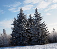 Blue Spruce Or Picea Pungens With Deciduous Trees Royalty Free Stock Images