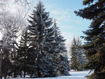 Blue Spruce Or Picea Pungens Royalty Free Stock Photography