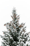 Blue spruce from pine cones Royalty Free Stock Image