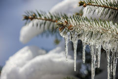 Blue Spruce Pine Tree Covered with Icicles and Snow. Closeup of ice and icicle coated pine branch with snow blurred in background Stock Photo