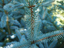 Blue spruce. Seedling blue spruce top view Royalty Free Stock Photos