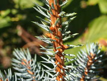 Blue spruce. Seedling blue spruce top view Stock Photography