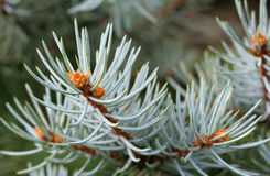 Blue Spruce Shallow Focus stock images