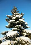 Blue spruce in the snow Royalty Free Stock Photos