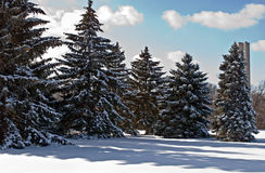 Blue Spruce in Snow. Group of Colorado Blue Spruce trees with shadows on snow royalty free stock photography