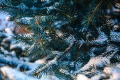 Blue spruce. In snow.winter photo.pine tree in the snow in the spring Stock Images