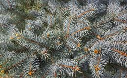 Blue spruce Royalty Free Stock Photography