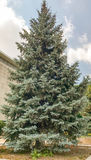 Blue Spruce. Tall Blue Spruce in the Outdoors stock images