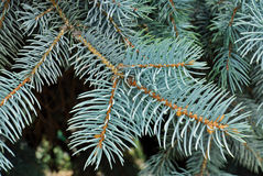 Blue Spruce Tree Stock Images