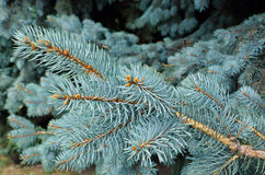 Blue Spruce Tree Royalty Free Stock Images