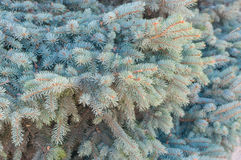 Blue spruce tree branch closeup Stock Photos