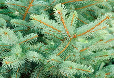 Blue Spruce Tree Branches Royalty Free Stock Photo