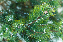 Blue spruce tree branches with snow Stock Photo
