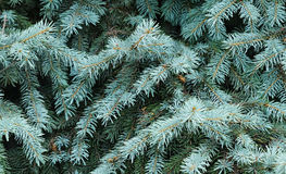 Blue spruce tree Royalty Free Stock Photos