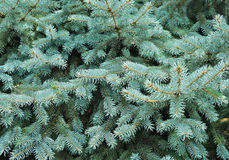 Blue spruce tree Royalty Free Stock Photo