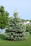 A Blue Spruce Tree. A Blue Spruce (Picea pungen) Tree Also Called a Colorado spruce royalty free stock image
