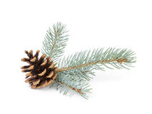Blue spruce twig with cone Stock Image
