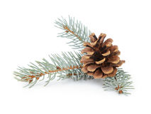 Blue spruce twig with cone Stock Photos