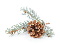 Blue spruce twig with cone Royalty Free Stock Photography