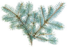 Blue spruce twig isolated on white Royalty Free Stock Images