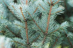 Blue spruce twigs close up Stock Photo