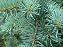 Blue spruce twigs. Macro photo. royalty free stock photography