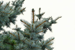 Blue spruce twigs on white background Picea pungens Royalty Free Stock Image