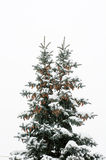 Blue spruce with two beaks, and cones Stock Images