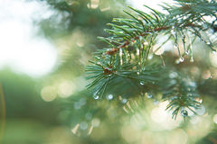 Free Blue Spruce With Drops Of Dew Stock Photo - 27777670