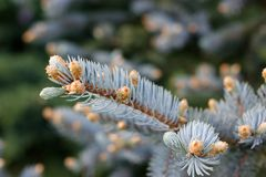 Blue spruce. Young shoots of blue spruce Royalty Free Stock Images