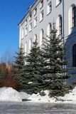 Blue spruces grow near the ancient building of white color in the winter clear afternoon. Landscaping. City landscape royalty free stock photos