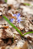 Blue Squill Siberian Squill Royalty Free Stock Photography