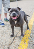 Blue Staffordshire Bull Terrier Stock Photos