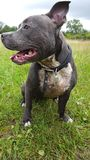 Blue Staffy Out on a Walk Royalty Free Stock Photography