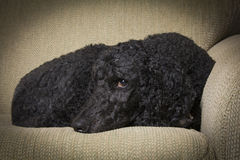 Blue Standard Poodle 2 Stock Image