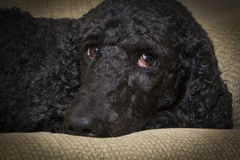 Blue Standard Poodle 3 Royalty Free Stock Photography