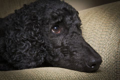 Blue Standard Poodle 4 Stock Image