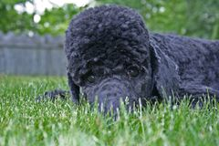 Blue Standard Poodle Hiding in Grass Stock Photography