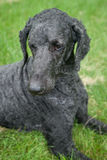 Blue Standard Poodle Outside Royalty Free Stock Photos