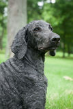 Blue Standard Poodle Outside Royalty Free Stock Photography