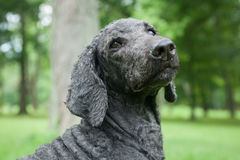 Blue Standard Poodle Outside Royalty Free Stock Photo