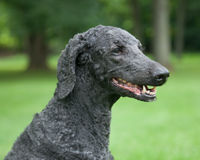 Blue Standard Poodle Outside Stock Photography