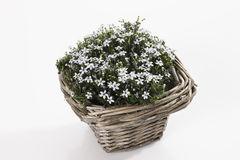Blue Star Creepers (Pratia pedunculata) in basket Royalty Free Stock Image